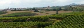 Viñas en Ventosa La Rioja